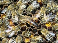 HONEY BEES SWORM REMOVE lost in your area Woking and all Surrey area