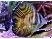 MARINE FISH / LARGE INDIAN OCEAN DESJARDINS SAILFIN TANG
