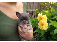 Toy Chihuahua puppy