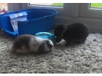 Two mini lop bunnies (sisters)