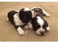 Beautiful Cockertzu/Cocker Spaniel puppies