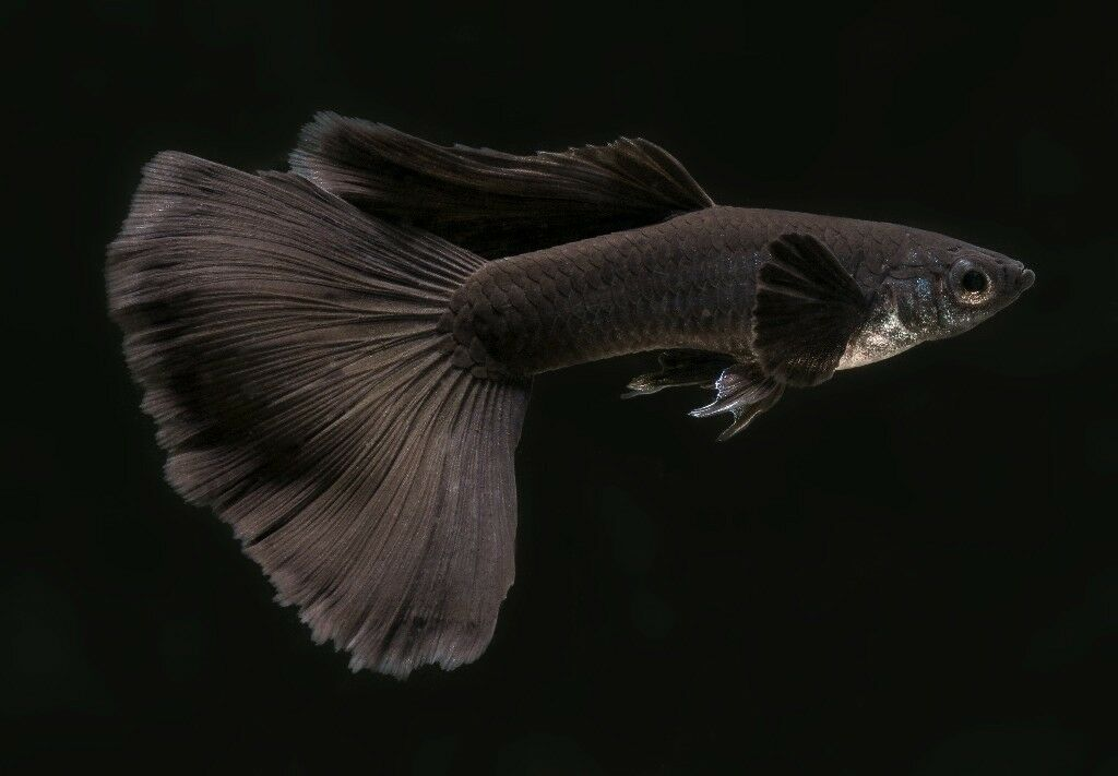 Black moscow guppy pairs | in Loanhead, Midlothian | Gumtree