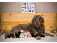 Multi-generation (F3) Double Doodle Puppies (Labradoodle x Goldendoodle) for sale  Neilston, Glasgow