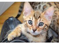 Tica registered full pedigree Stunning bengal kittens