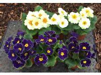 Primroses EXCELLENT QUALITY PLANTS