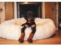 Outstanding Doberman puppies