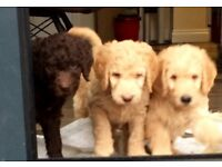Gorgeous f5 labradoodle puppies for sale