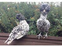 Silver laced Poland hen/chicken POL