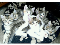 Half Bengal kittens - Just 2 left