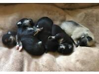 Gorgeous Chihuahua cross pups