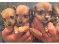 Chalkie puppies