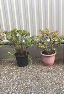 Money trees/jades, $50 each or both for $90 Penshurst Hurstville Area Preview