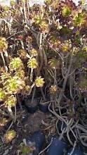 Aeonium arbourium Zwartkop Craigieburn Hume Area Preview