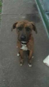 For Reluctant Sale to a good Home:  12 Month Old Mastiff x Boxer Collie Area Preview