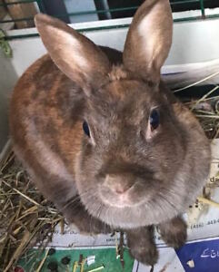 Bunny looking for a loving home - Free