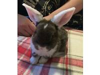 Mini lop rex rabbit pure breed