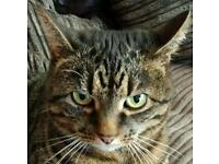 Missing tabby cat from Thorpe St Andrew