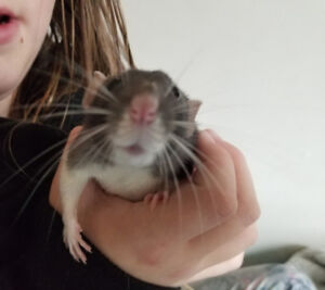 FREE Rehome 2 adorable young female DUMBO  rats