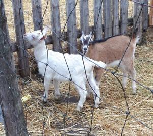 Goat bucklings
