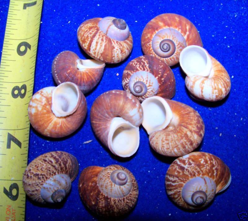 Fernandezi Snail Shell Seashell Collectors 12Pcs