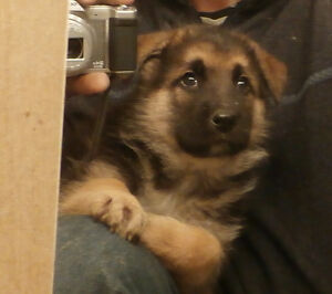 Pure German Shepherd Puppies available
