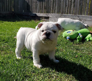 English Bulldog puppy FEMALE CKC chiot bouledogue anglais