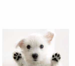 > Female White Maltese Puppy 8 to 12 weeks old
