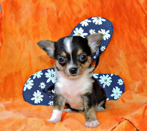 Chihuahua❤ mâle tricolore petit amour T-Cup ❤