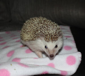 FEMALE HEDGEHOG * HEDGIE * LOOKING FOR A NEW HOME