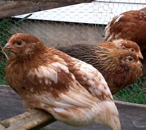 Pullets for sale, Rieger Rieger Farms, Armstrong,BC