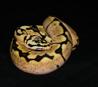 Ball Python morphs for sale!