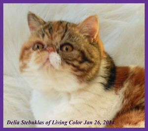 TICA Registered Exotic Shorthair