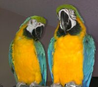 Blue & Gold McCaw's For Sale