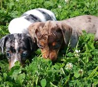 chiots TECKEL, male