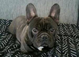 French Bulldog Male brindle Main Papers | Dogs & Puppies