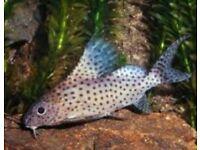 featherfin squeaker (Synodontis eupterus) or featherfin synodontis