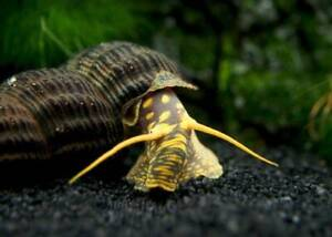 Yellow Spotted Giant Rabbit Snail