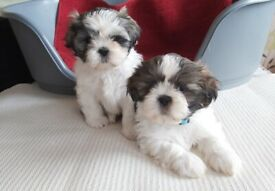Stunning Shih Tzu Puppies