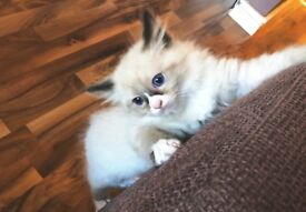 5 LOVELY RAGDOLL KETTENS FOR SALE (4 lLEFT NOW)