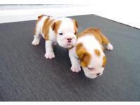 Quality croftthorn English bulldog pups