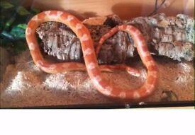 4ft corn snake with 4 x 1.5 x 1.5 ft vivarium and heat mat, bulbs £55 all in
