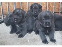 Cane Corso In England Dogs Puppies For Sale Gumtree