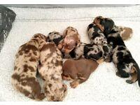 Full pedigree dashaunds puppies