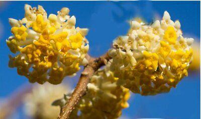 3ft (inc. pot) 7litre Edgeworthia Japanese Paper Bush Hardy Winter Flowering