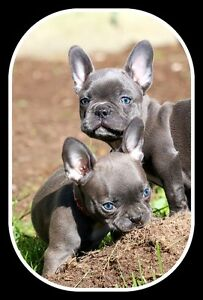 Health tested parents, CKC registered purebred french bulldogs