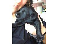 Kc registered drakeshead puppies