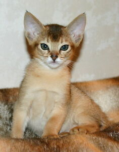 Purebred abyssinian ruddy girl