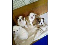 British bulldog puppies