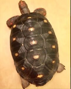Looking for adult male Cherryhead tortoise