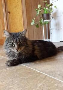 """Young Female Cat - Domestic Long Hair: """"Sweets"""""""